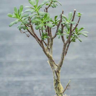 Sedum oxypetalum, orpin en arbre, de notre production