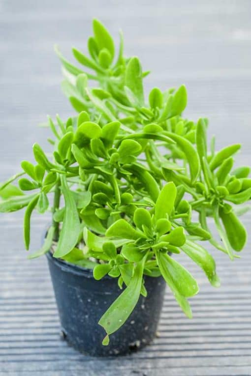 Sedum praealtum, sédum arbustif, de notre production