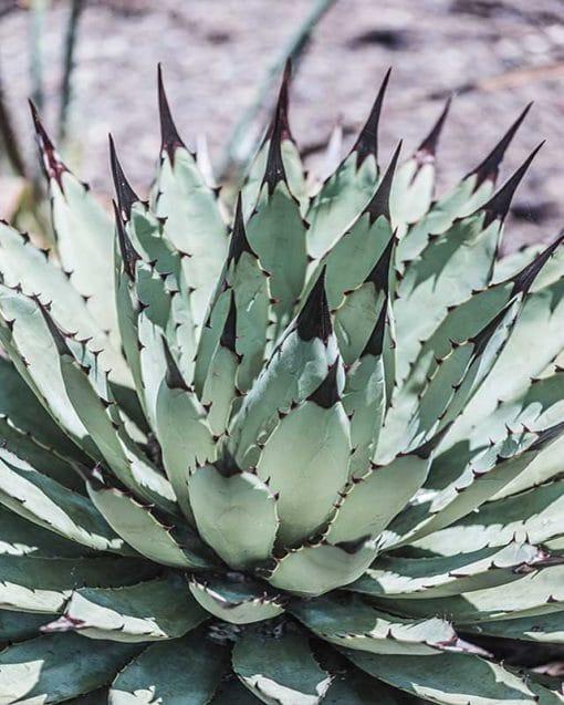 Agave macroacantha, agave à grande épine