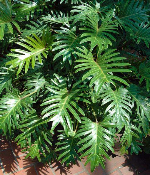 Philodendron xanadu, alias Thaumatophyllum xanadu
