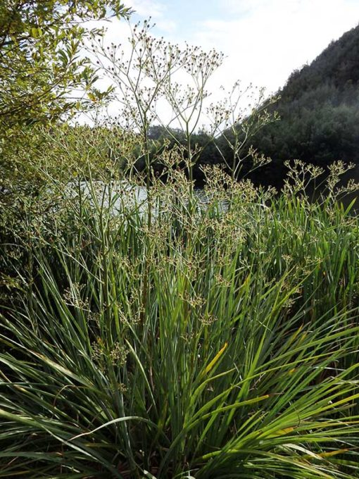 Eryngium pandanifolium, panicaut géant, panicaut à feuilles de pandanus