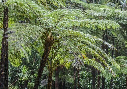 Cyathea cooperi alias Sphaeropteris cooperi, fougère en arbre d'Australie