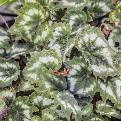 Begonia palmata, bégonia palmé, forme himalayenne
