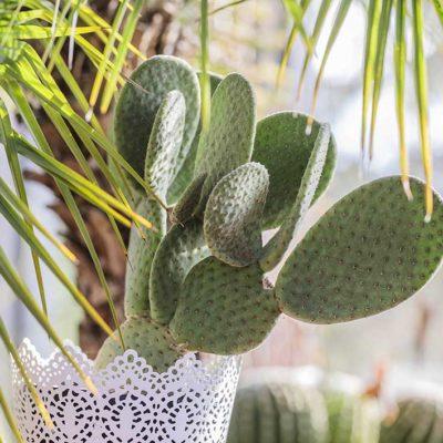 Opuntia microdasys Caress