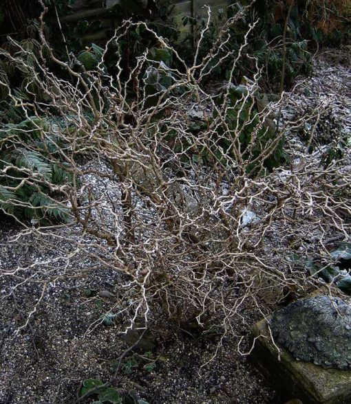 Prunus incisa Kojo no Mai en hiver