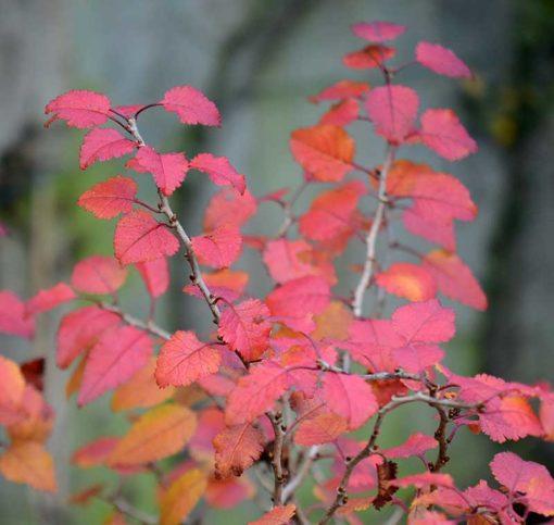 Prunus incisa Kojo no Mai en couleur d'automne