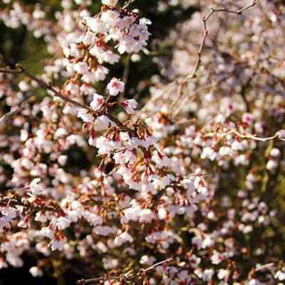 Prunus incisa Kojo no Mai en fleurs