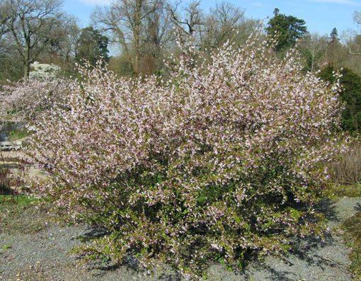 Prunus incisa Kojo no Mai en fleur