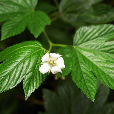 Rubus trifidus, ro,nce à feuille d'érable, en fleur