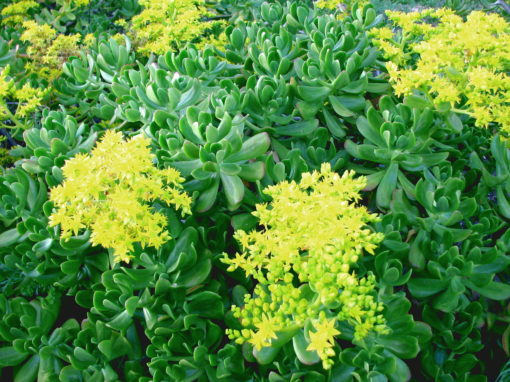 Sedum praealtum, orpin arbustif en fleur