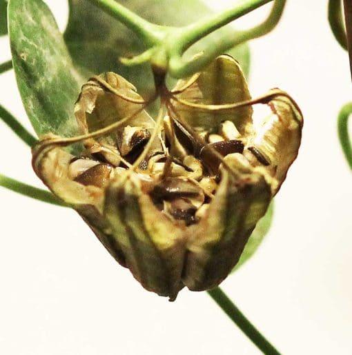 Fructification d'aristoloche à frange, Aristolochia fimbriata