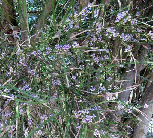 Carmichaelia australis alias Carmichaelia aligera, en fleur