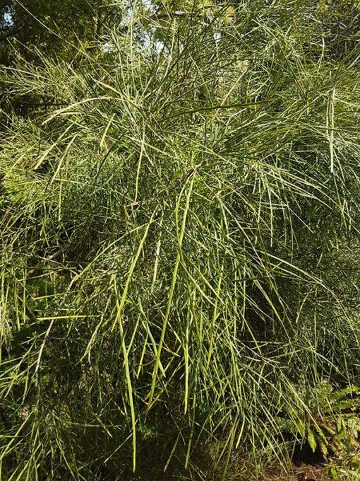 Carmichaelia australis alias Carmichaelia aligera,