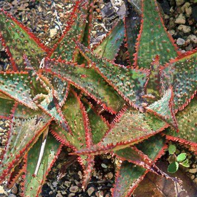 Aloe Piranha, aloe hybride