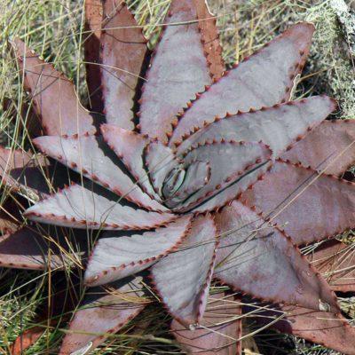 Rosette d'Aloe conifera
