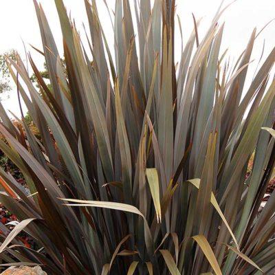 Phormium tenax Purpureum, lin de Nouvelle-Zélande pourpre
