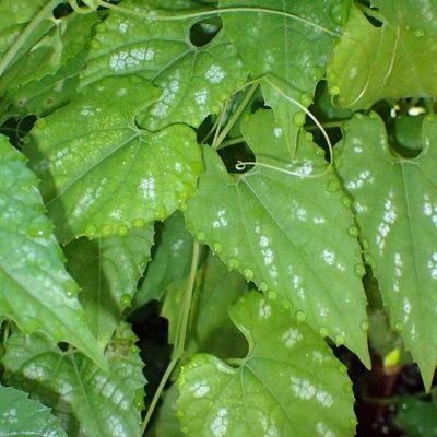 Thladiantha maculata