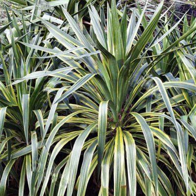Yucca recurvifolia Marginata, yucca récurvé panaché