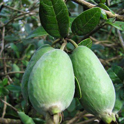 Feijoa sellowiana Mammouth, goyave du Brésil 'Mammouth' en fruit