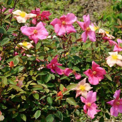 Rosa chinensis Mutabilis, rosier de Chine multicolore