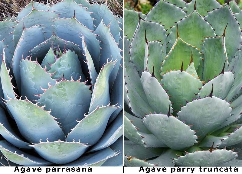 Comparatif d'Agave parrasana et d'Agave parryi truncata