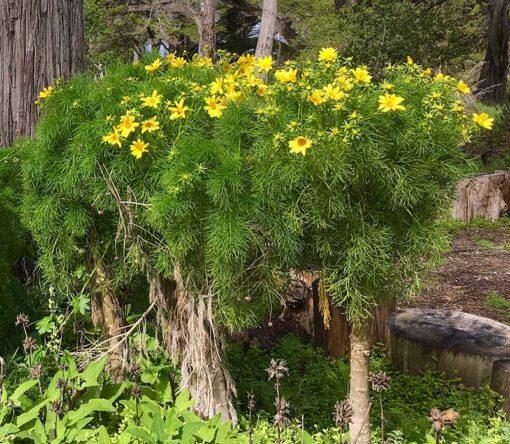 Coreopsis gigantea alias Leptosyne gigantea, en fleurs