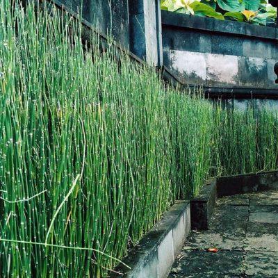 Rideau d'Equisetum hyemale, prêle du Japon ou prêle hiver