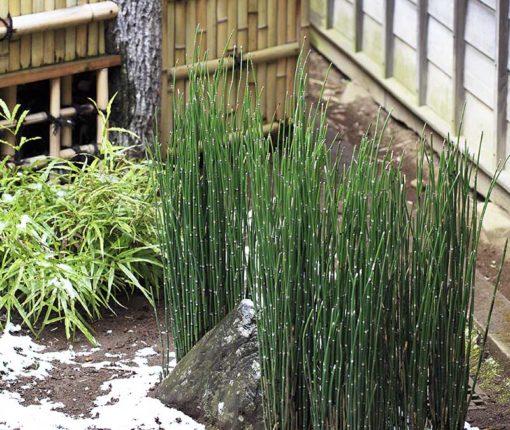 Equisetum hyemale, prêle du Japon ou prêle hiver dans un jardin japonais