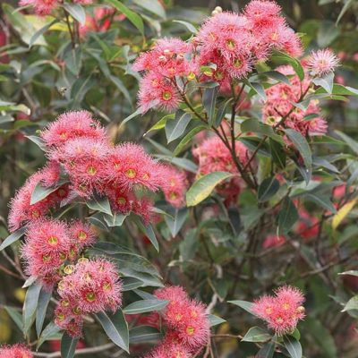 eucalyptus megalocarpa, eucalyptus à fleurs roses