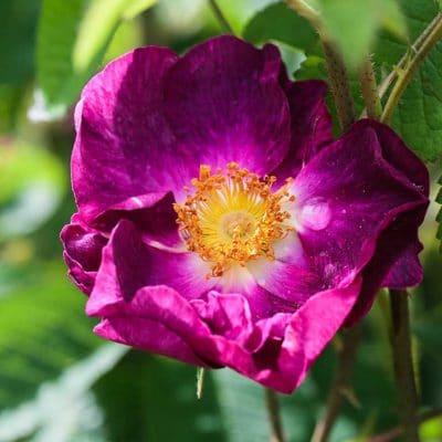 Rose Belle Sultane, une Rosa gallica