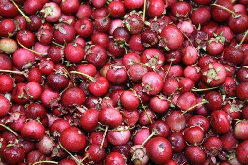 Fruits d'Ugni molinae Elite, la goyave du Chili Elite