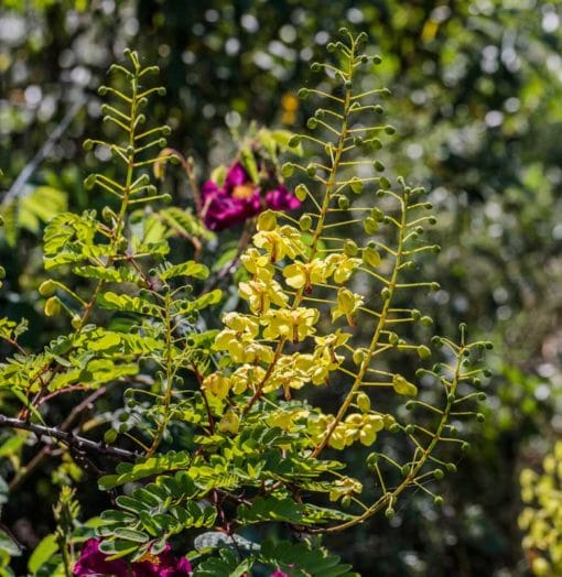 Caesalpinia du Japon, Caesalpinia decapetala
