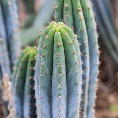 Trichocereus macrogonus alias Echinopsis macrogona