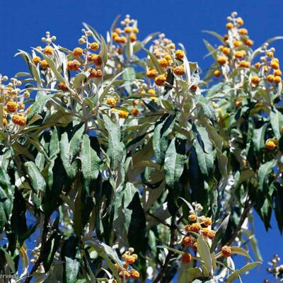 Buddleia megalocephala, arbre à papillon du Guatemala