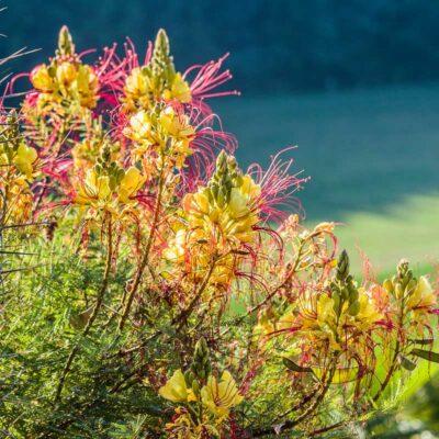 Caesalpinia gilliesii, oiseau de paradis jaune, en fleur