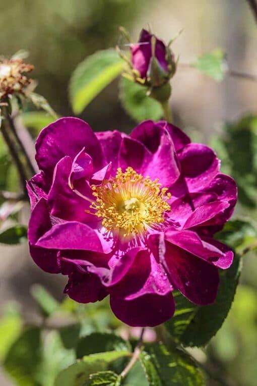 rosier gallique Belle Sultane