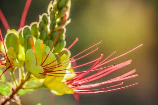 Détail de Caesalpinia gilliesii, oiseau de paradis jaune, en fleur