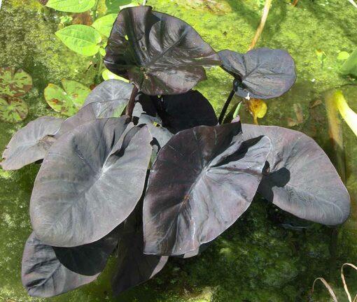 Colocasia Kona Coffee , Colocasia Kona Koffee , colocase noire, taro noir, oreille d'éléphant à feuilles noires