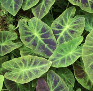 Colocasia esculenta Illustris, taro illustris, Colocasia antiquorum Illustris