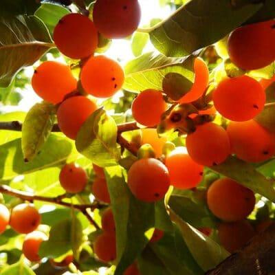 Fruits de Diospyros lotus, le prunier datte, ou plaqueminier lotier, ou encore datte du nord