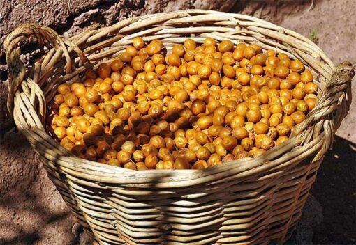 Récolte de fruits de de Geoffroea decorticans, le palo verde du Chili, ou chañar