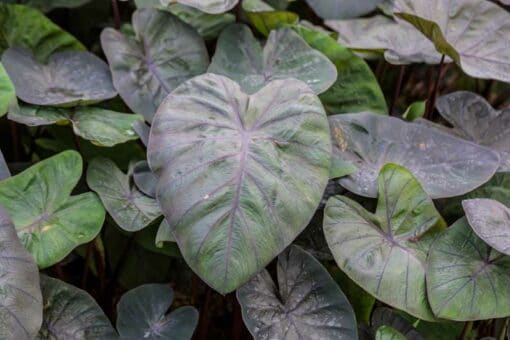 Colocasia esculenta Kona Koffee, colocase à feuilles noires, taro
