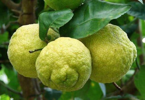 Citrus jambhiri, rough lemon, citron rustique