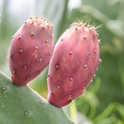 Figue de Barbarie Marocaine, Opuntia ficus indica Marocaine