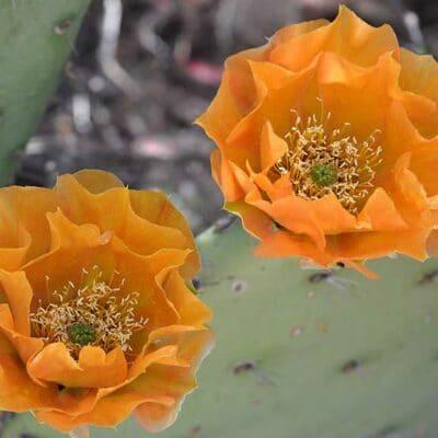 Fleur d'Opuntia x vaseyi, l'oponce saumon