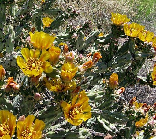 Cylindropuntia acanthocarpa , cholla corne de cerf, en fleurs