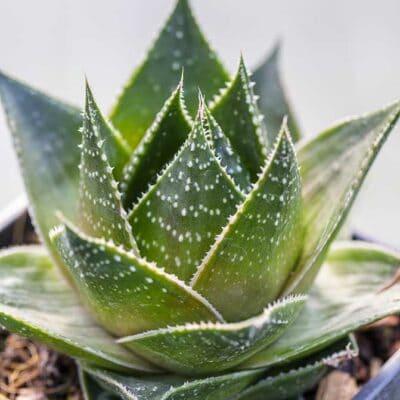 Aloe Cosmo, hybride d'aloe aristata