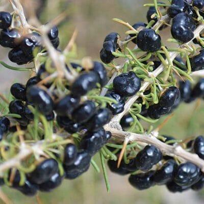 Baies de goji noir, Lycium ruthenicum